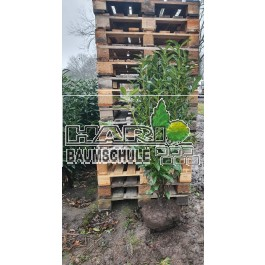 Kirschlorbeer (Prunus laurocerasus 'Genolia'  ®) 125/150 cm