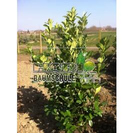 Kirschlorbeer (Prunus laurocerasus 'Rotundifolia') 180/200 cm