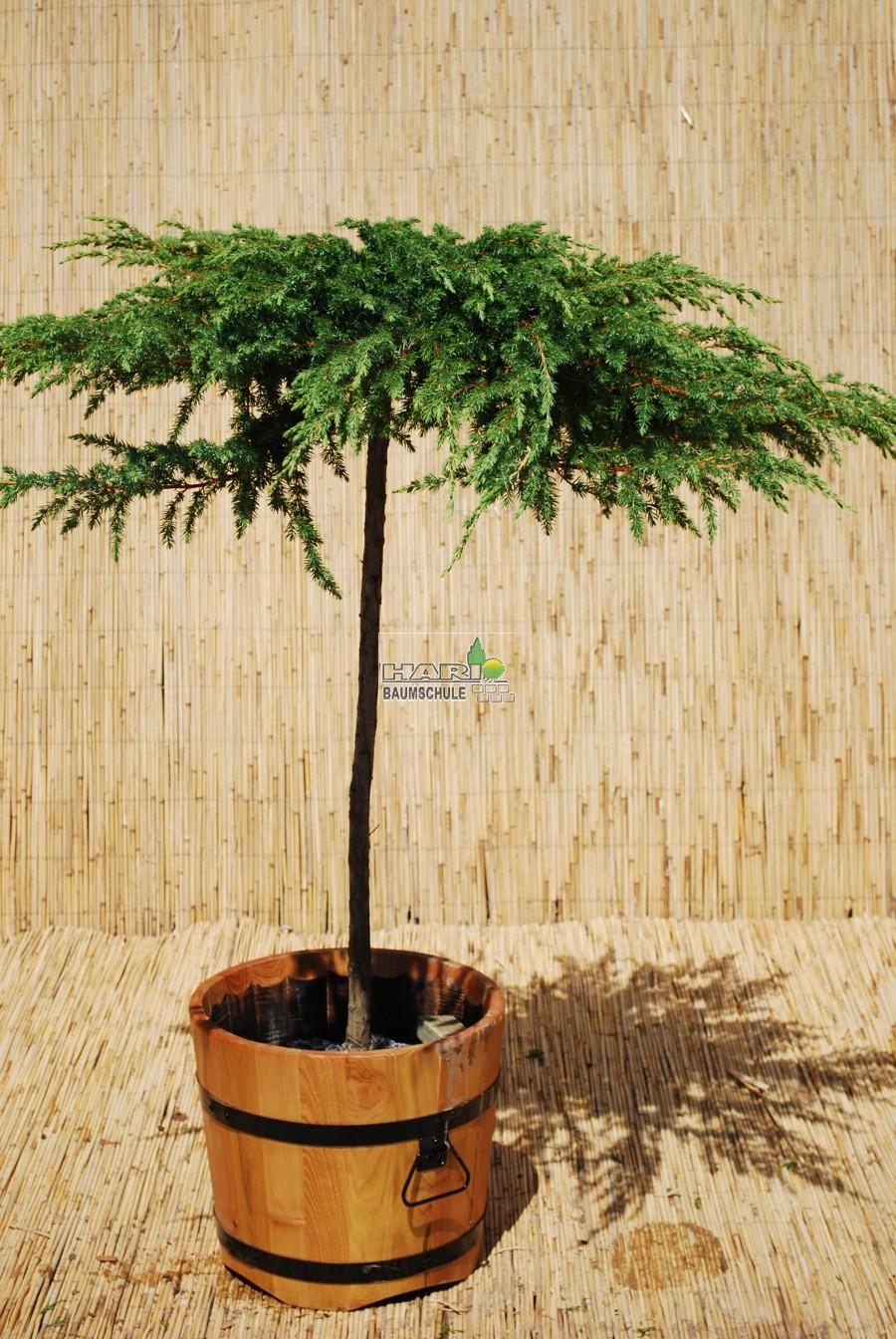 juniperus conf 39 schlager 39. Black Bedroom Furniture Sets. Home Design Ideas