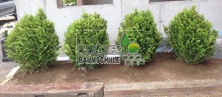 buchsbaum buxus sempervirens 100 cm. Black Bedroom Furniture Sets. Home Design Ideas