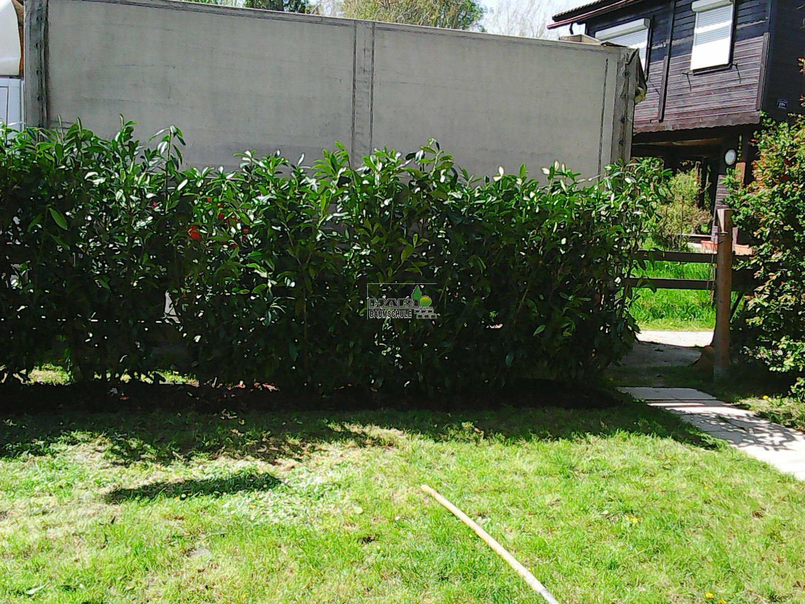 kirschlorbeer prunus laurocerasus 39 caucasica 39 140 160 cm. Black Bedroom Furniture Sets. Home Design Ideas