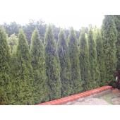 Smaragdthujen 225/240 cm
