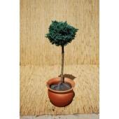 Juniperus sq. 'Blue Star'