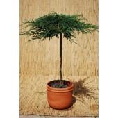 Juniperus sq. 'Blue Carpet'