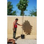 Kugelbäume (Catalpa bignonioides 'Nana')