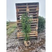 Kirschlorbeer (Prunus laurocerasus 'Genolia'  ®) 150/175 cm
