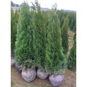 Smaragdthujen 150/160 cm