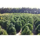 Buchsbaum (Buxus sempervirens) 100 cm