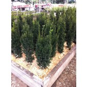Eiben (Taxus media Hicksii) 80/100 cm