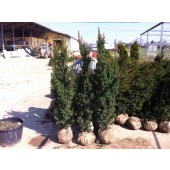 Eiben (Taxus media Hicksii) 150/175 cm