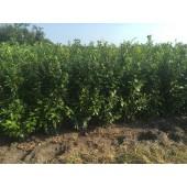 Kirschlorbeer (Prunus laurocerasus 'Novita') 160/180 cm