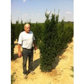 Eiben (Taxus media Hicksii) 200/225 cm