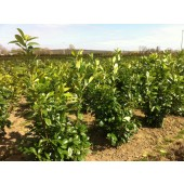 Kirschlorbeer (Prunus laurocerasus 'Rotundifolia') 140/160 cm