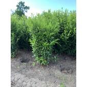 Kirschlorbeer (Prunus laurocerasus 'Caucasica') 180/200 cm - 75 cm Breit