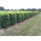 Kirschlorbeer (Prunus laurocerasus 'Rotundifolia') 160 cm FERTIGHECKE 1 lfm!