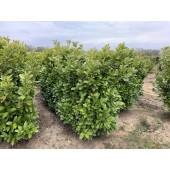 Kirschlorbeer (Prunus laurocerasus 'Rotundifolia') 180/200 cm FERTIGHECKE 1 lfm!