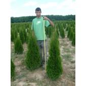 Smaragdthujen 140 cm