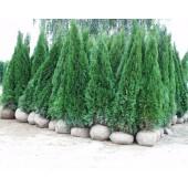 Smaragdthujen 250/300 cm